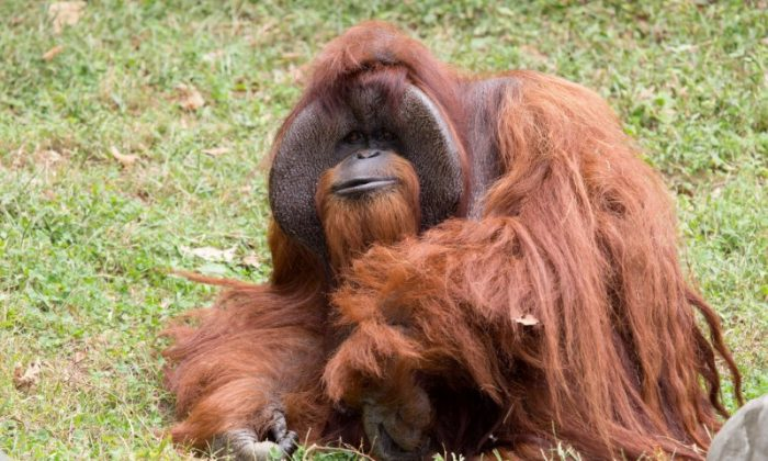 Zoo Atlanta photo shows Chantek the orangutan after the passing of the male orangutan who was among the first apes to learn sign language, in this photo released on social media in Atlanta, Georgia, U.S., August 7, 2017.   (Courtesy Zoo Atlanta/Handout via REUTERS)