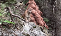 Hiking Duo Comes Eye-to-Eye With Cougar Overhead Within Pouncing Distance