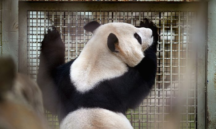 Yang Guang looks through the fence as the breeding season approaches, in Edinburgh, Scotland.  (Photo by Jeff J Mitchell/Getty Images)