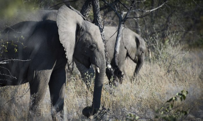 Elephants are pictured, on May 9, 2015 at Halali in Etosha park. (MARTIN BUREAU/AFP/Getty Images)