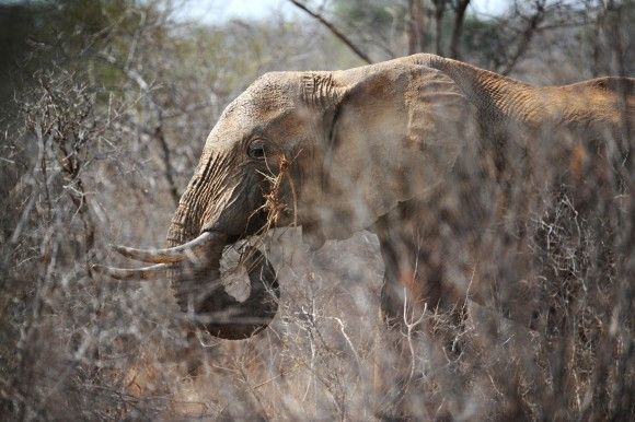 A elephant eats twiggs from a tree amid dry brush at the Tsavo West National Park in southern Kenya on August 21, 2009.  (ROBERTO SCHMIDT/AFP/Getty Images)
