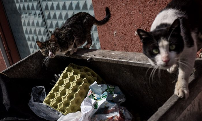 Cats on a dumpster. (Photo by Chris McGrath/Getty Images)