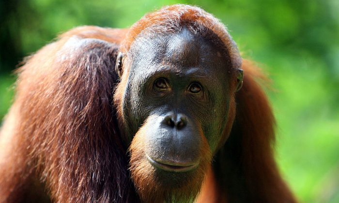 An Orangutan is seen at a zoo in Jakarta, Indonesia. (Photo by Dimas Ardian /Getty Images)