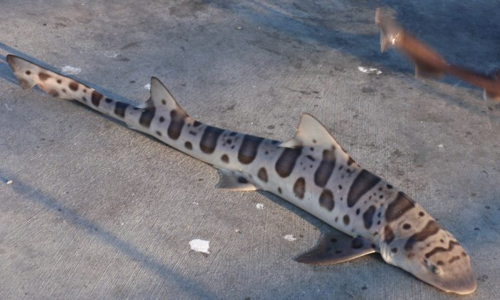 Leopard shark washed up on beach in San Francisco. (Tom Hilton [CC BY 2.0 (http://creativecommons.org/licenses/by/2.0)], via Wikimedia Commons)