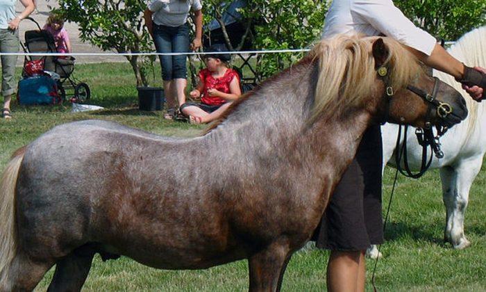 A Shetland pony ( GNU Free Documentation License)