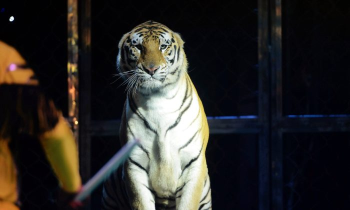 This picture taken on August 11, 2015 shows a Siberian tiger from a circus performing on the stage as an animal trainer beats it with a stick in Qingdao, east China's Shandong province.            (STR/AFP/Getty Images)