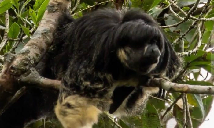 Vanzolini saki monkey. (Screenshot via National Geographic)