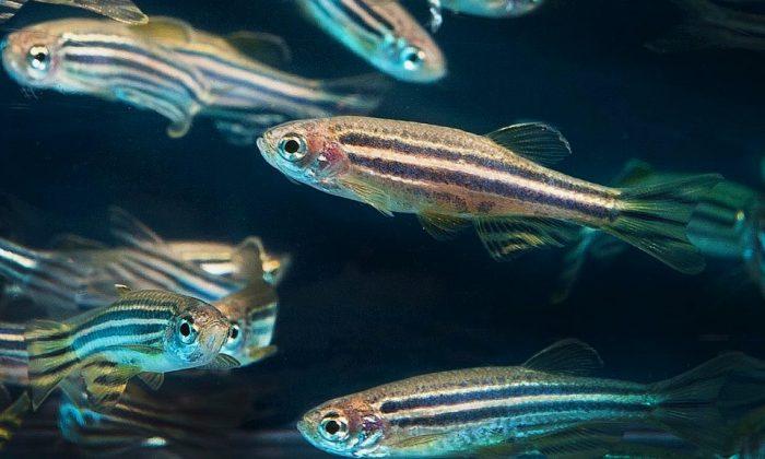 Zebrafish. (Oregon State University|Flickr|CC BY-SA 2.0)