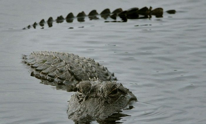 An alligator surfaces in a pond.  (Photo by Mark Wilson/Getty Images)