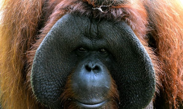 An orangutan from Borneo. (SONNY TUMBELAKA/AFP/Getty Images)