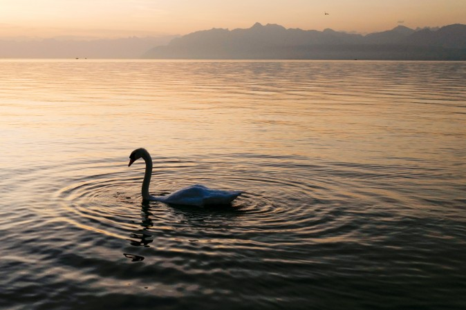 A swan makes its way on Lake Geneva at sunrise in Rolle, western Switzerland, on Aug. 30, 2017. (FABRICE COFFRINI/AFP/Getty Images)