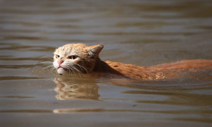 A cat tries to find dry ground around an apartment complex after it was inundated with water following Hurricane Harvey on Aug. 30, 2017 in Houston, Texas. (Scott Olson/Getty Images)