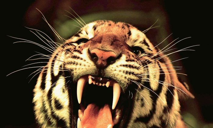 A tiger of Hangzhou Sapphire Circus roars. (Photo by China Photos/Getty Images)