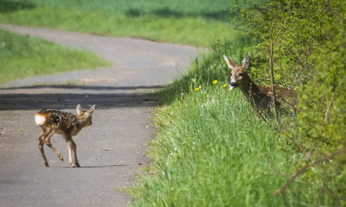A deer waits for its fawn crossing a small road. (FRANK RUMPENHORST/AFP/Getty Images)