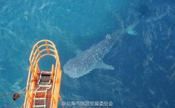 whale_shark_killed