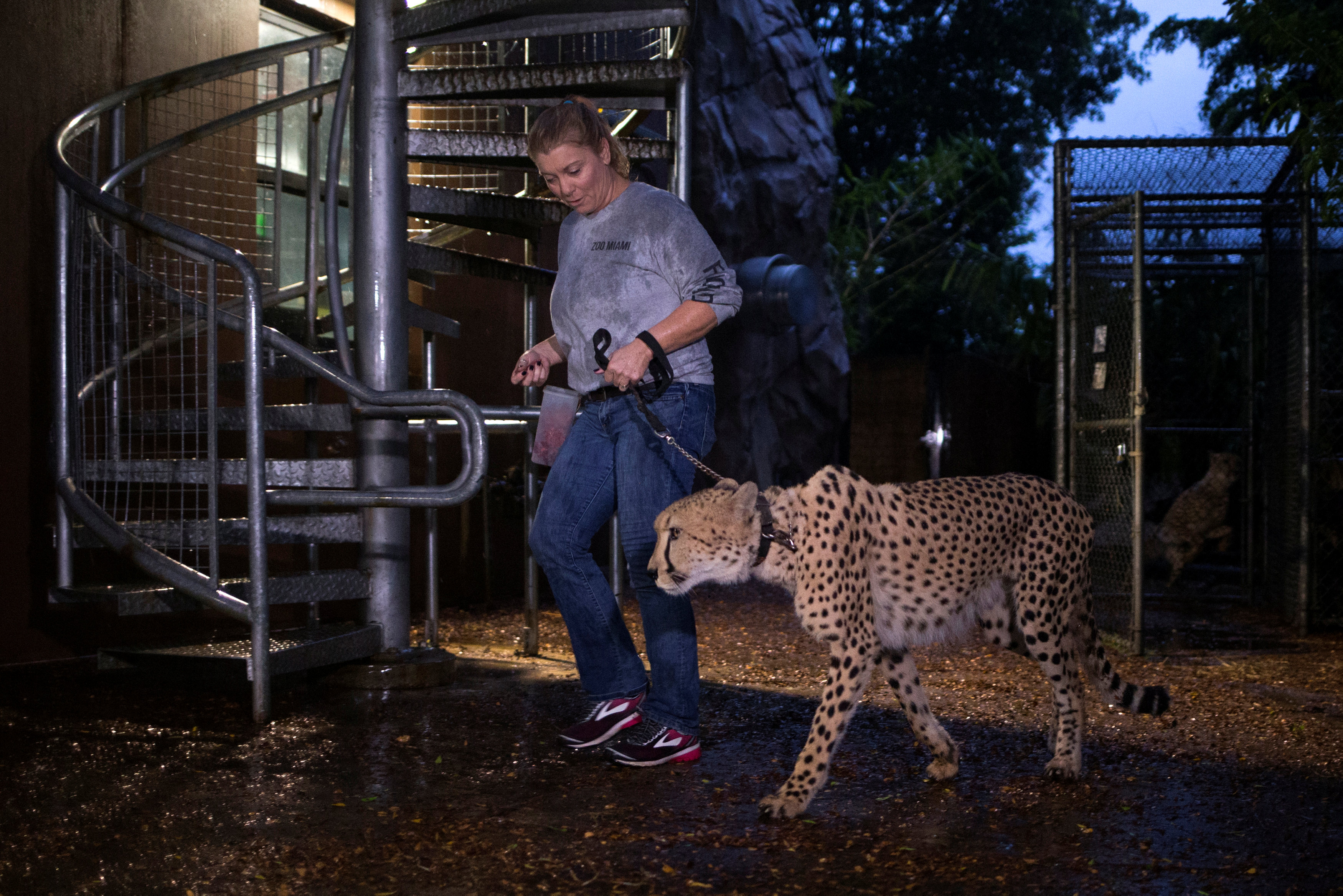 Senior keeper Jennifer Nelson walks a cheetah to a shelter ahead of the downfall of Hurricane Irma at the Miami Zoo in Miami, Florida, U.S. September 9, 2017.  REUTERS/Adrees Latif