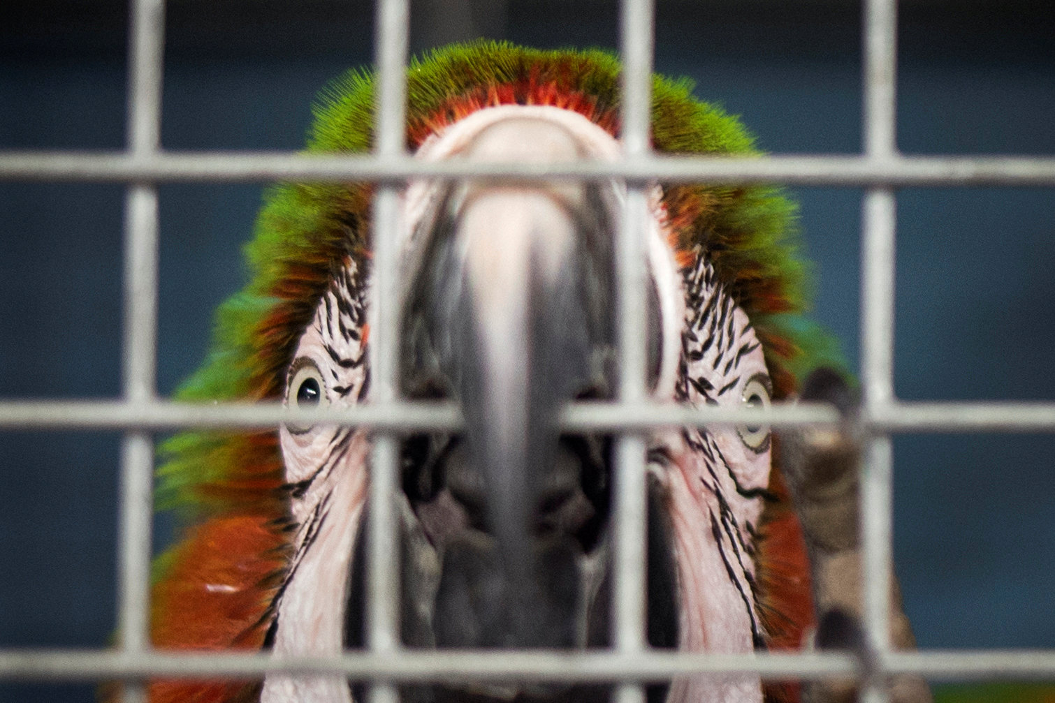 A macaw parrot looks out of it's cage after being put into a shelter ahead of the downfall of Hurricane Irma at the zoo in Miami, Florida, U.S. September 9, 2017.  REUTERS/Adrees Latif