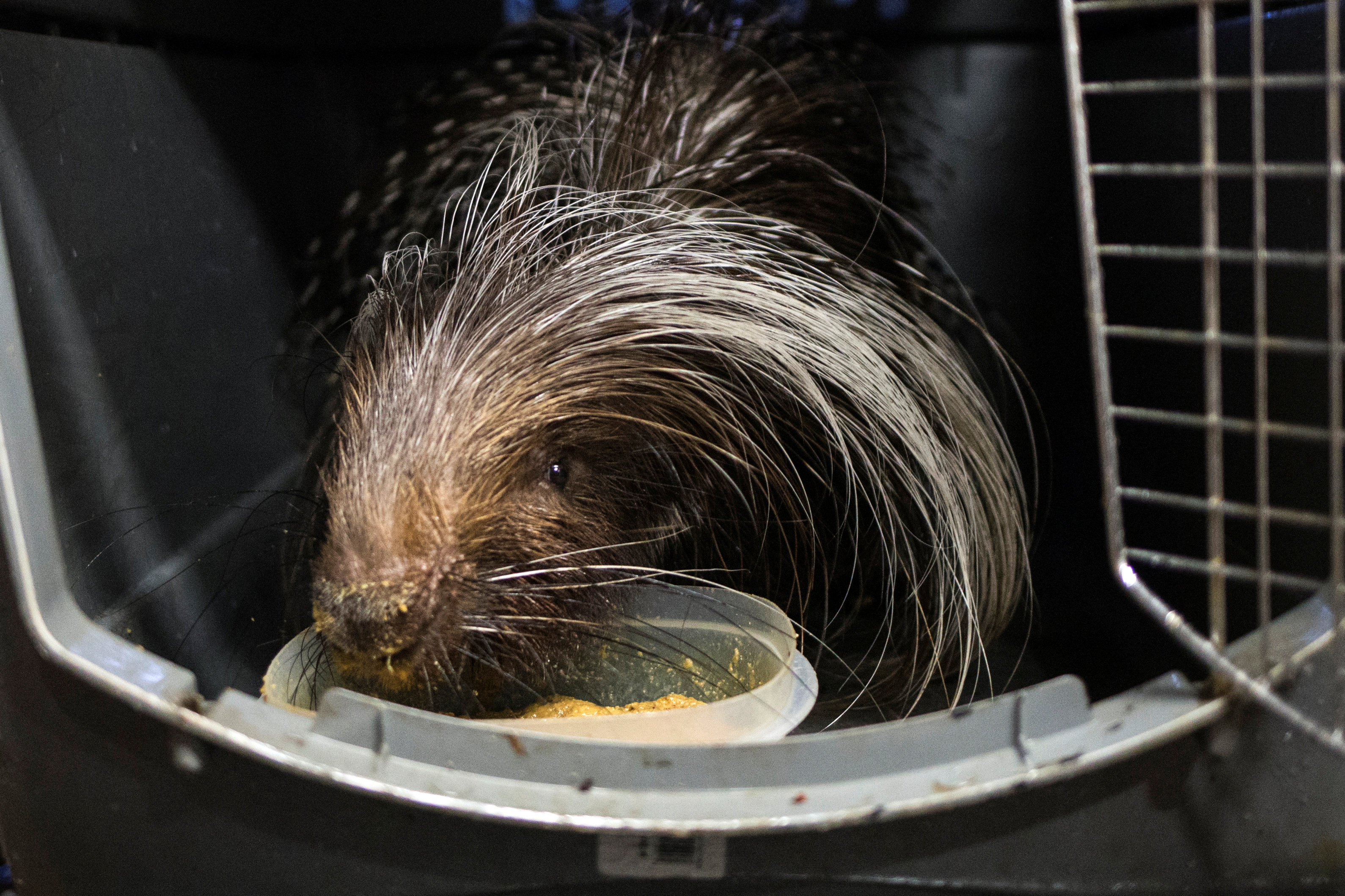 An African crested porcupine is moved into a shelter ahead of the downfall of Hurricane Irma at the zoo in Miami, Florida, U.S. September 9, 2017.  REUTERS/Adrees Latif