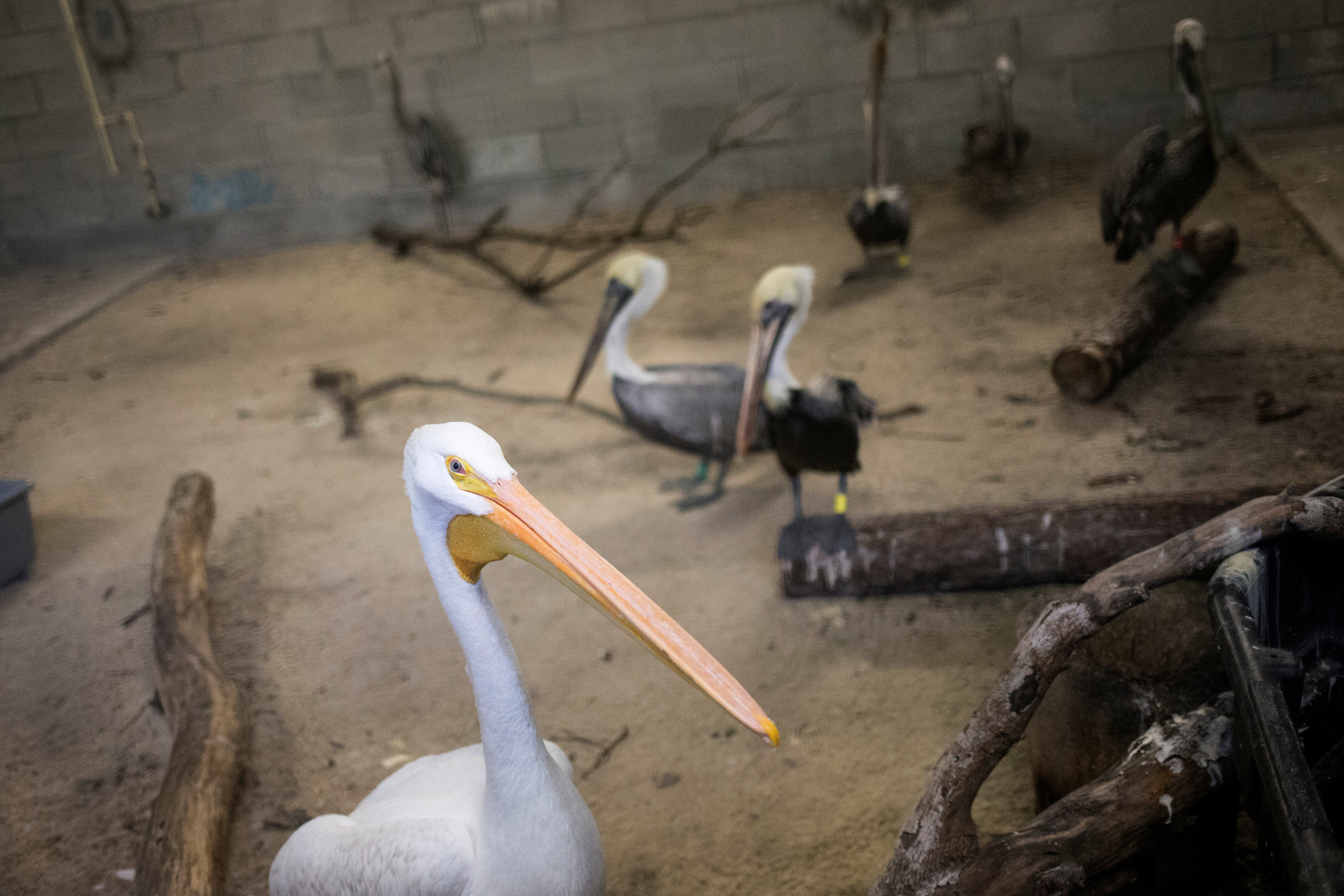 An American white pelican and brown pelicans take refuge in a shelter ahead of the downfall of Hurricane Irma at the zoo in Miami, Florida, U.S. September 9, 2017.  REUTERS/Adrees Latif