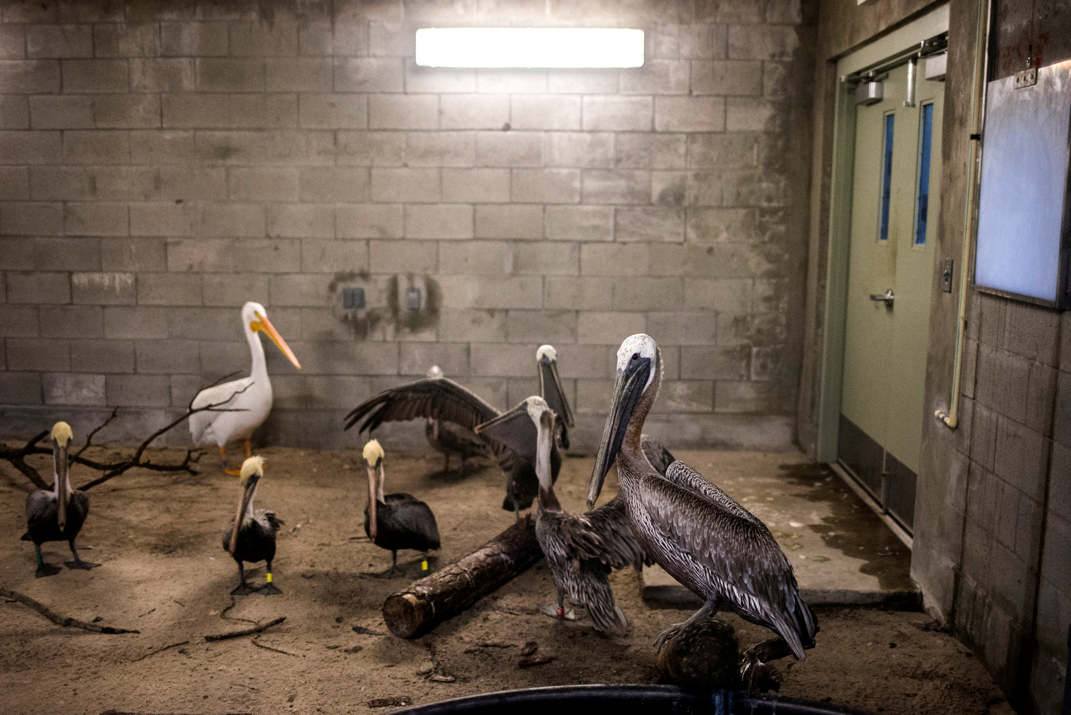 Brown pelicans and an American white pelican take refuge in a shelter ahead of the downfall of Hurricane Irma at the zoo in Miami, Florida, U.S. September 9, 2017.  REUTERS/Adrees Latif
