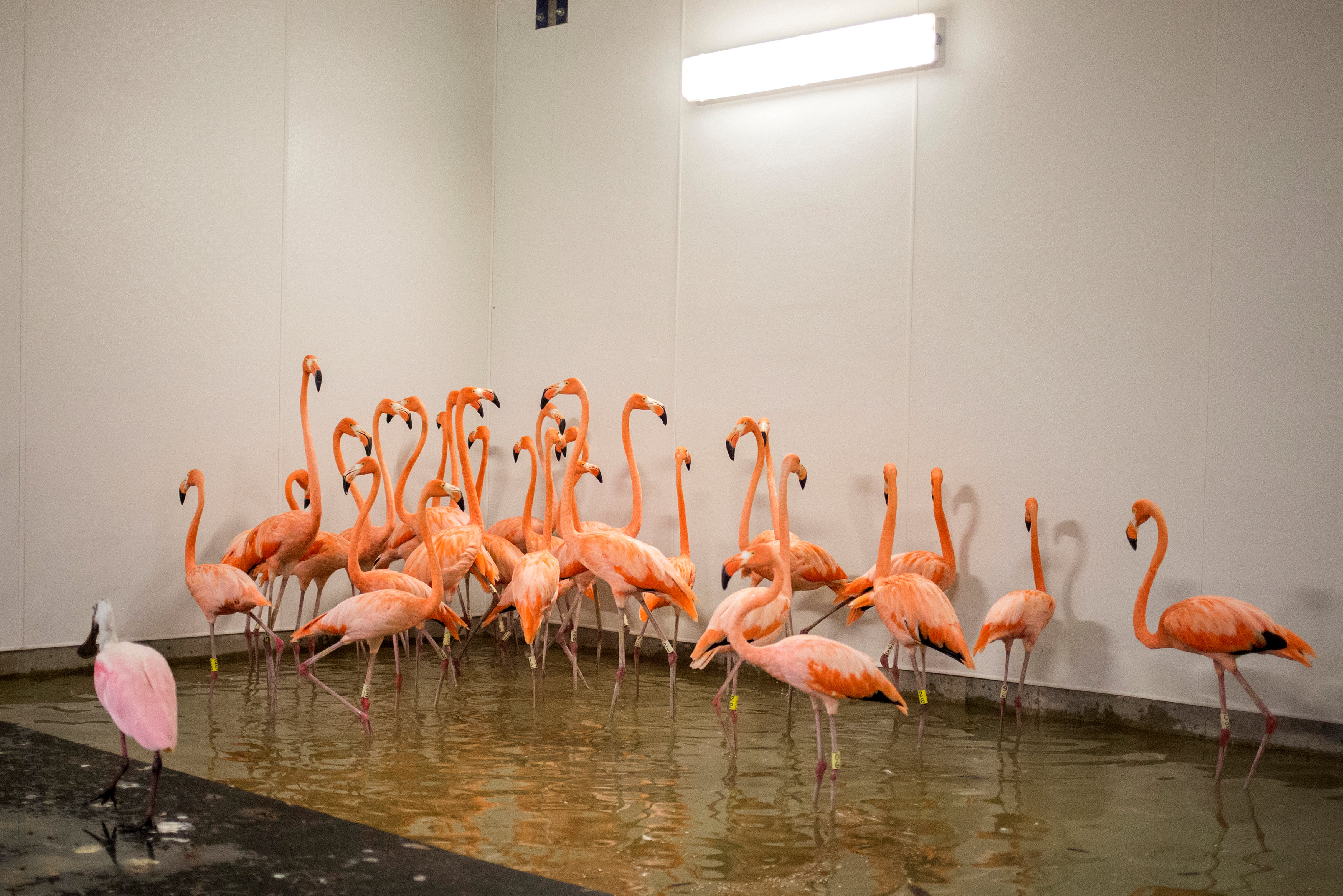 Flamingos take refuge in a shelter ahead of the downfall of Hurricane Irma at the zoo in Miami, Florida, U.S. September 9, 2017.  REUTERS/Adrees Latif