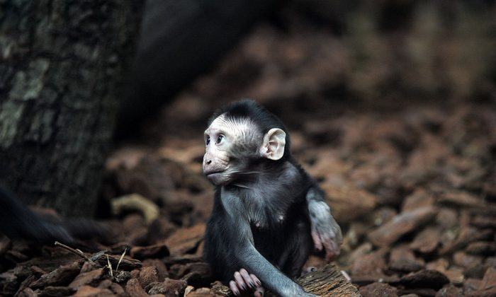 A baby crested macaque Jaki plays in Artis Zoo. (EVERT ELZINGA/AFP/Getty Images)
