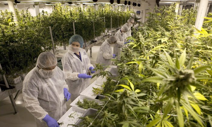 Production staff harvest marijuana plants in the flowering room at Harvest One Cannabis Inc. in Duncan, B.C., on Aug. 4, 2018. (THE CANADIAN PRESS/Chad Hipolito)