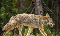 Coyote Attack Sends Three Boy Scouts to Hospital