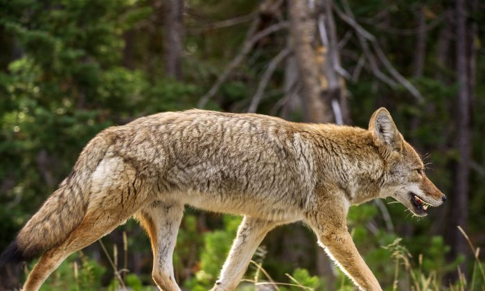 A coyote keeps pace with a car (not seen) as it runs down the road October 8, 2012 in Yellowstone National Park in Wyoming. (KAREN BLEIER/AFP/GettyImages)