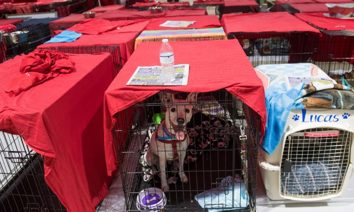 Dogs sit inside their cages as hundreds of people gather in a pet-friendly  emergency shelter at the Miami-Dade County Fair Expo Center in Miami, Florida, September 8, 2017, ahead of Hurricane Irma. (SAUL LOEB/AFP/Getty Images)