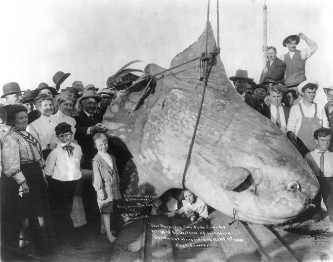 An enormous ocean sunfish (Mola mola), caught by W.N. McMillan of E. Africa, at Santa Catalina Isl., Cal. April 1st, 1910. Its weight was estimated at 3,500 pounds. (P.V. Reyes of Avalon, California/Library of Congress, Prints and Photographs Division)