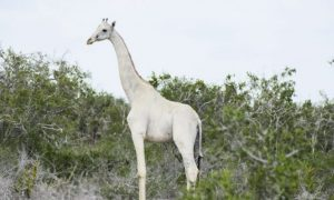 Extremely Rare White Giraffes Recorded on Video for the First Time