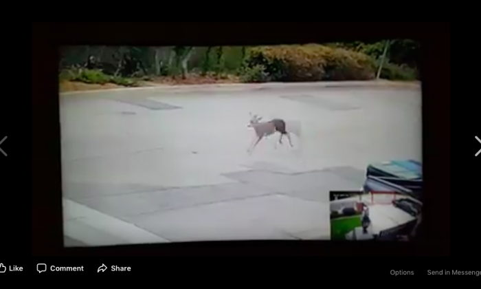 A deer runs down a street in the city of Monrovia, California, on Sept. 14, 2017 in footage captured on a home surveillance system. The deer was the target of a bowhunter who eventually killed it, sparking among local residents and netizens. (Chuck and Robyn Tapert via San Gabriel Valley Crime)