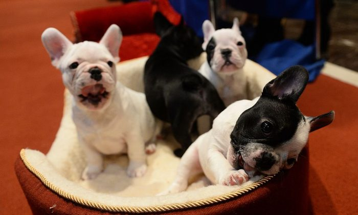 French Bulldog puppies. (EMMANUEL DUNAND/AFP/Getty Images)