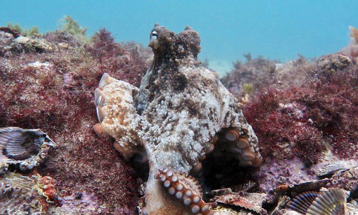 A gloomy octopus on the Octlantis settlement. (Peter Godfrey-Smith)