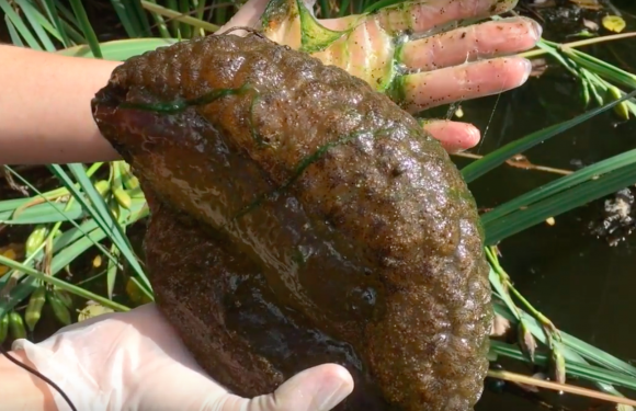 "A Bryozoan clump with a slimy centre ""like jello"" is picked out of the water in video taken at Stanley Park (Vancouver Courier/Youtube)"