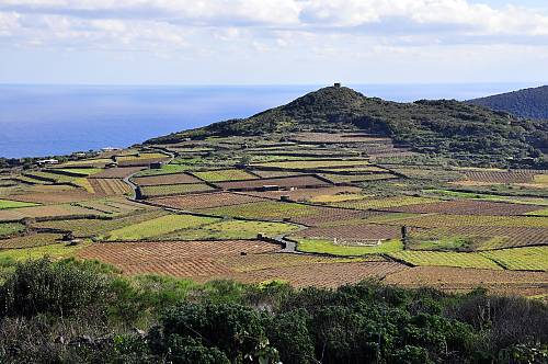 The bush vines of Pantelleria, an Italian island in the Mediterranean. (Graziella Pavia/Pantellaria Agonomist)