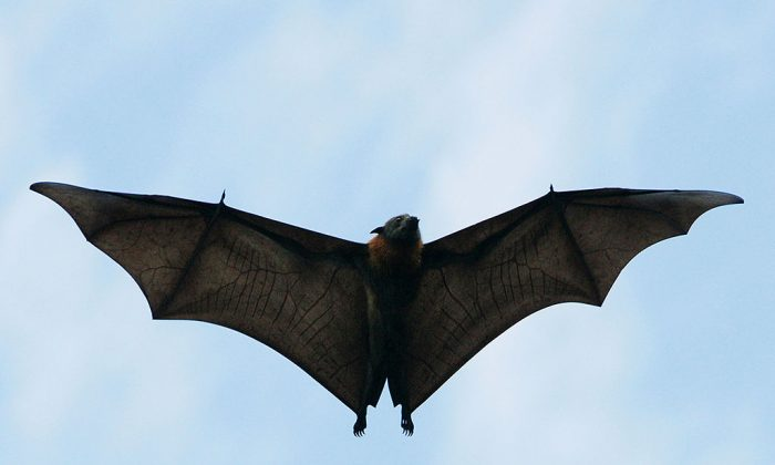 A Grey-Headed Flying Fox flies through the air.  (Ian Waldie/Getty Images)