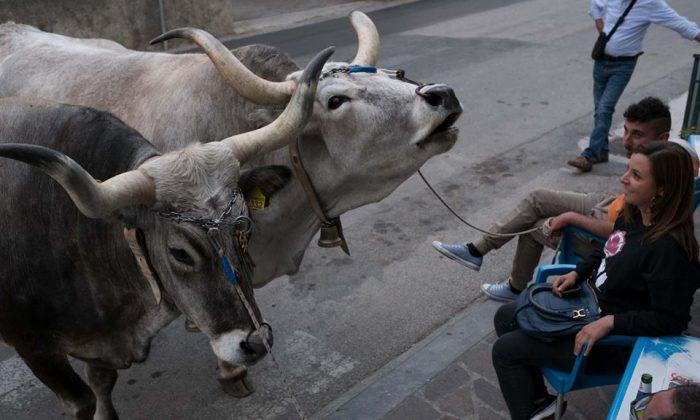 Bulls at Rotonda. (Courtesy of Katie Parla)