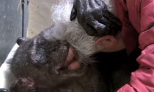Dying Chimpanzee Recognizes Professor Friend Before Smiling and Embracing Him