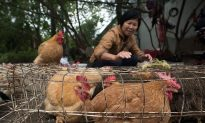 Chinese Chickens Now on US Dinner Tables