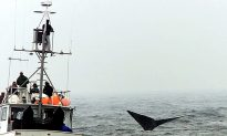 Rescuers Make Slow Progress on Freeing Entangled North Atlantic Right Whales