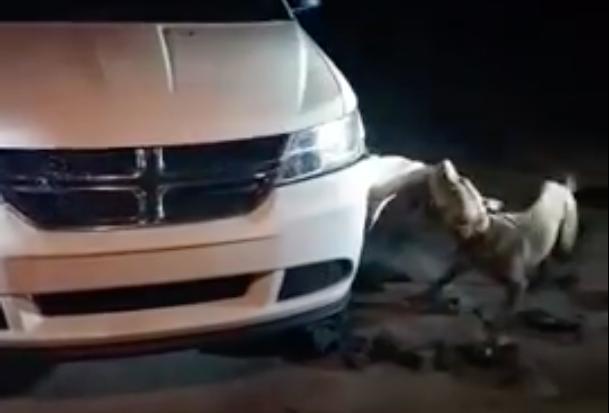 A pit bull named Red tears apart a car in Dalton, Georgia, on Nov. 9, 2017. (Screenshot via Youtube/Jessica DiLallo)