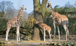 April the Giraffe Might Be Expecting Again
