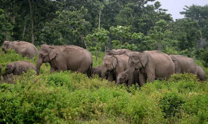 A herd of wild elephants walk in woodlands close to the village of Kolabari, some 50 kms from Siliguri close to the India-Nepal border. (Diptendu Dutta/AFP/Getty Images)
