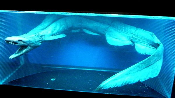 A frilled shark on display at Shimonoseki Marine Science Museum (Kaikyoukan/ http://opencage.info)