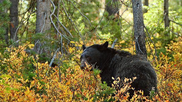 A female black bear can weigh 300 pounds. (commons.wikimedia.org)