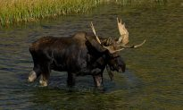 Teenage Hunter Gets $20,000 Fine for Killing Moose
