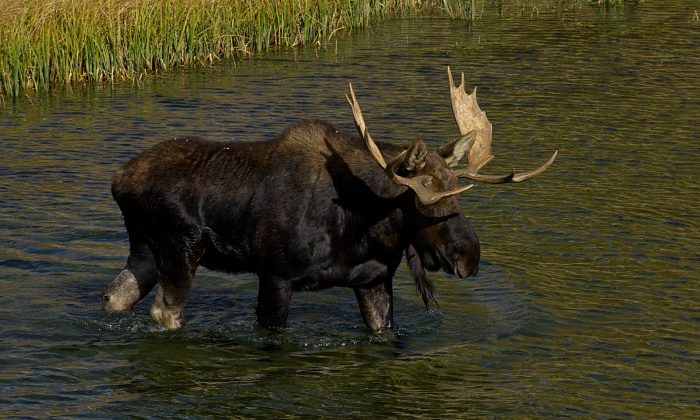 A moose saunters across the Snake River Oct. 4, 2012, in the Grand Teton National Park in Wyoming. (Karen Bleier/AFP/GettyImages)