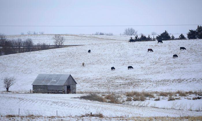 Cattle graze along a snow covered hillside in Creston, Iowa, on Jan. 22, 2016. (Joshua Lott/Getty Images)
